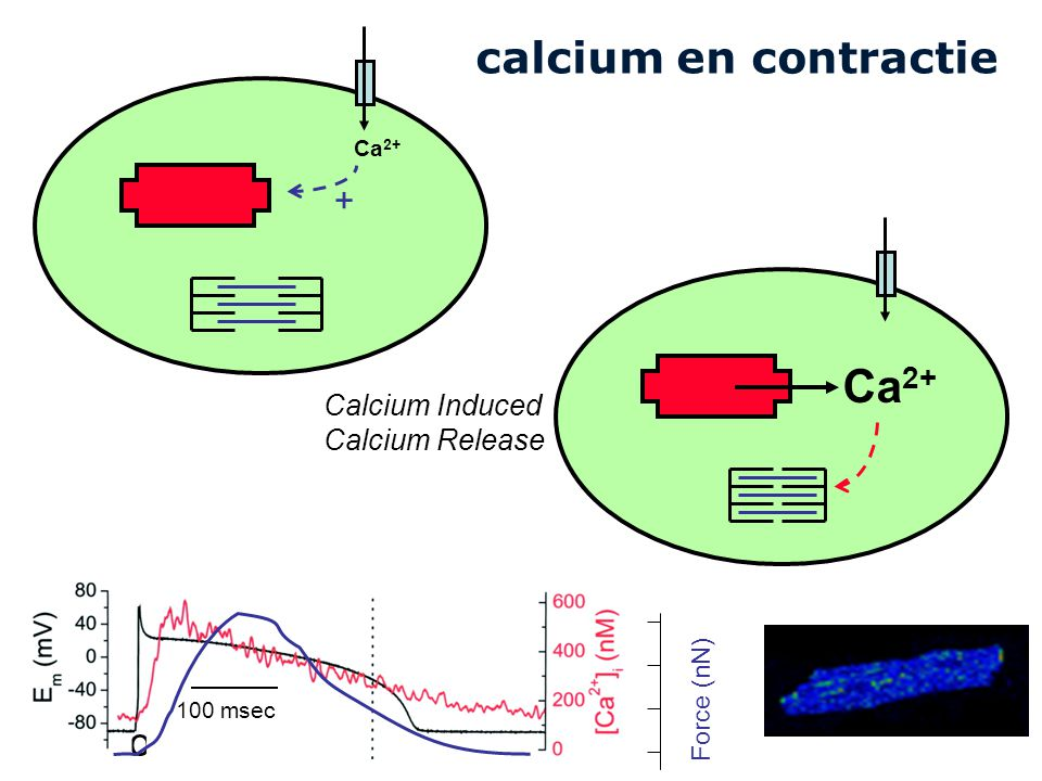 Ca2+ calcium en contractie Collee 5 + Calcium Induced Calcium Release