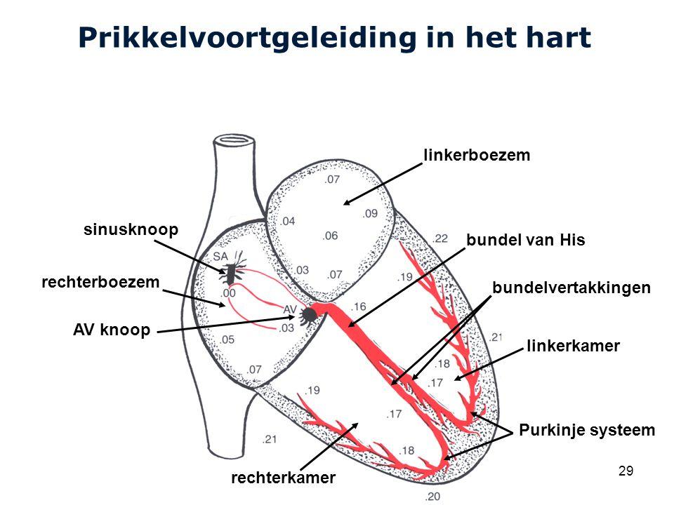 Prikkelvoortgeleiding in het hart