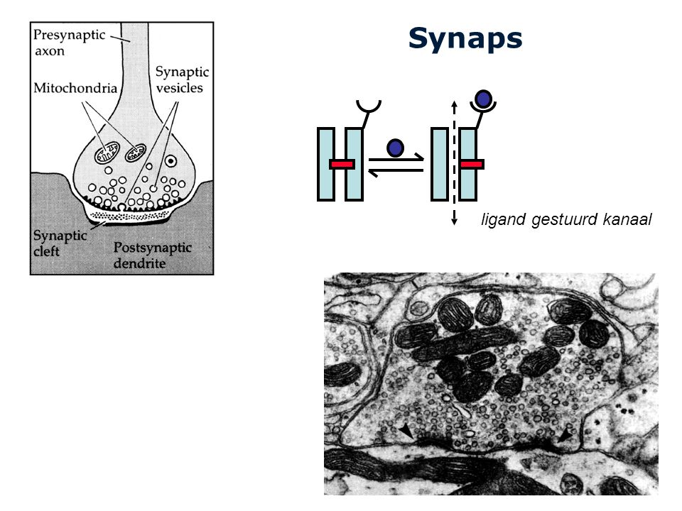 Synaps ligand gestuurd kanaal