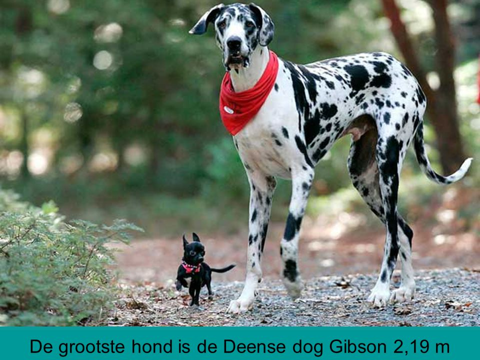 De grootste hond is de Deense dog Gibson 2,19 m