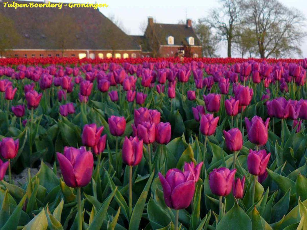 Tulpen Boerderij – Groningen