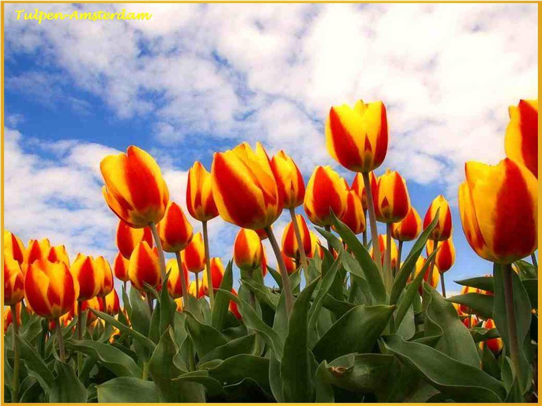 Tulpen-Amsterdam Blauwe Theehuis Vondelpark