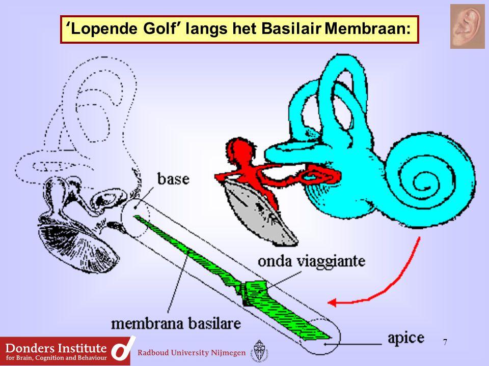 'Lopende Golf' langs het Basilair Membraan: