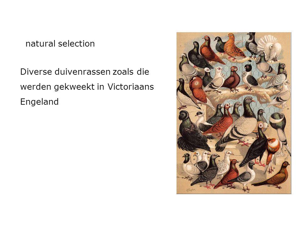 natural selection Diverse duivenrassen zoals die werden gekweekt in Victoriaans Engeland