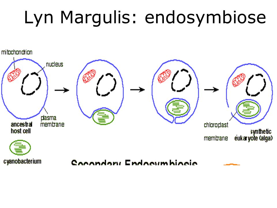 Lyn Margulis: endosymbiose
