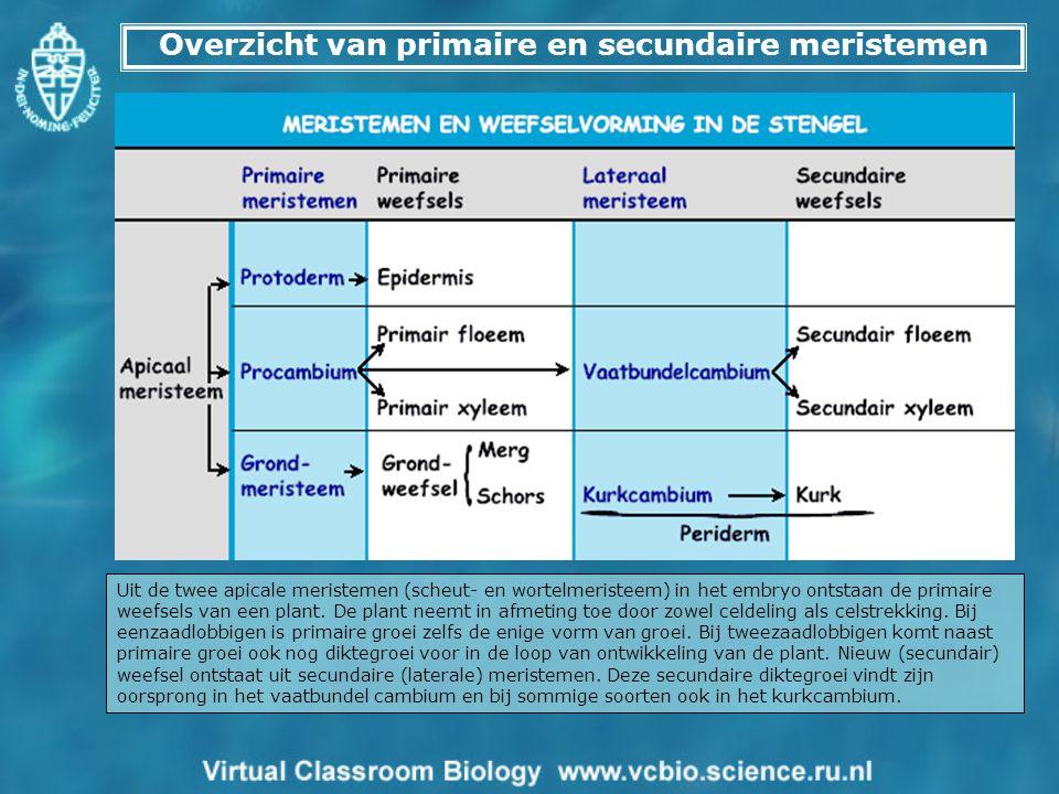 Overzicht van primaire en secundaire meristemen
