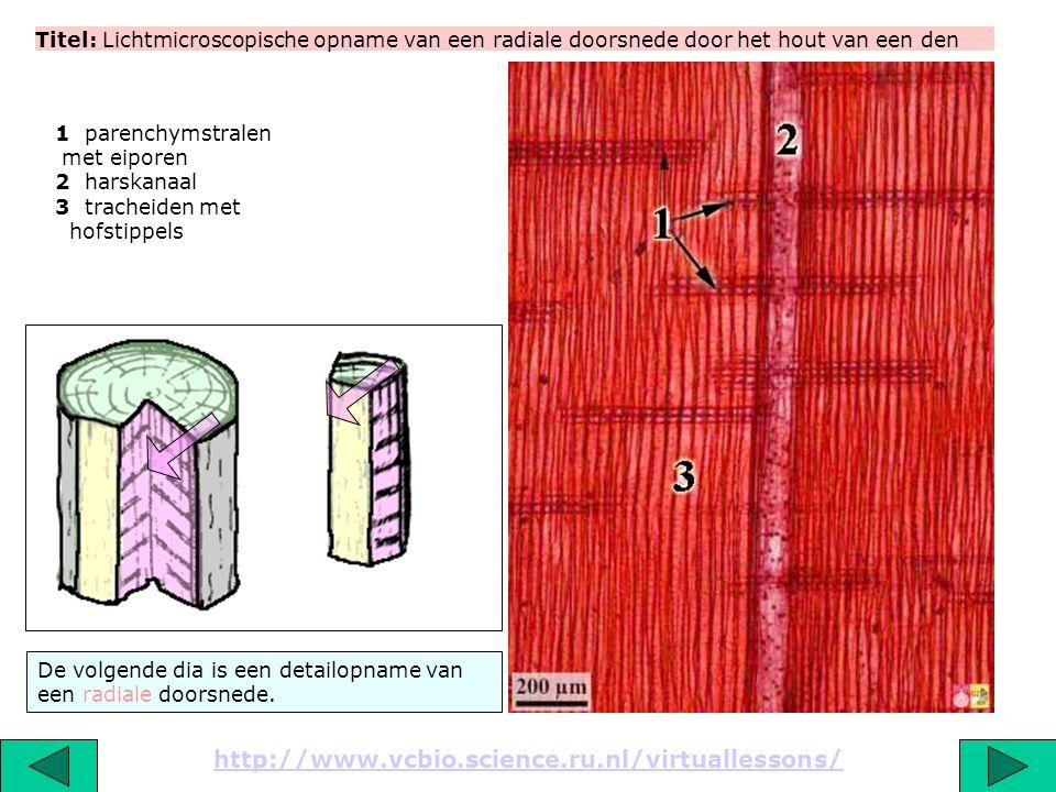 Titel: Lichtmicroscopische opname van een radiale doorsnede door het hout van een den