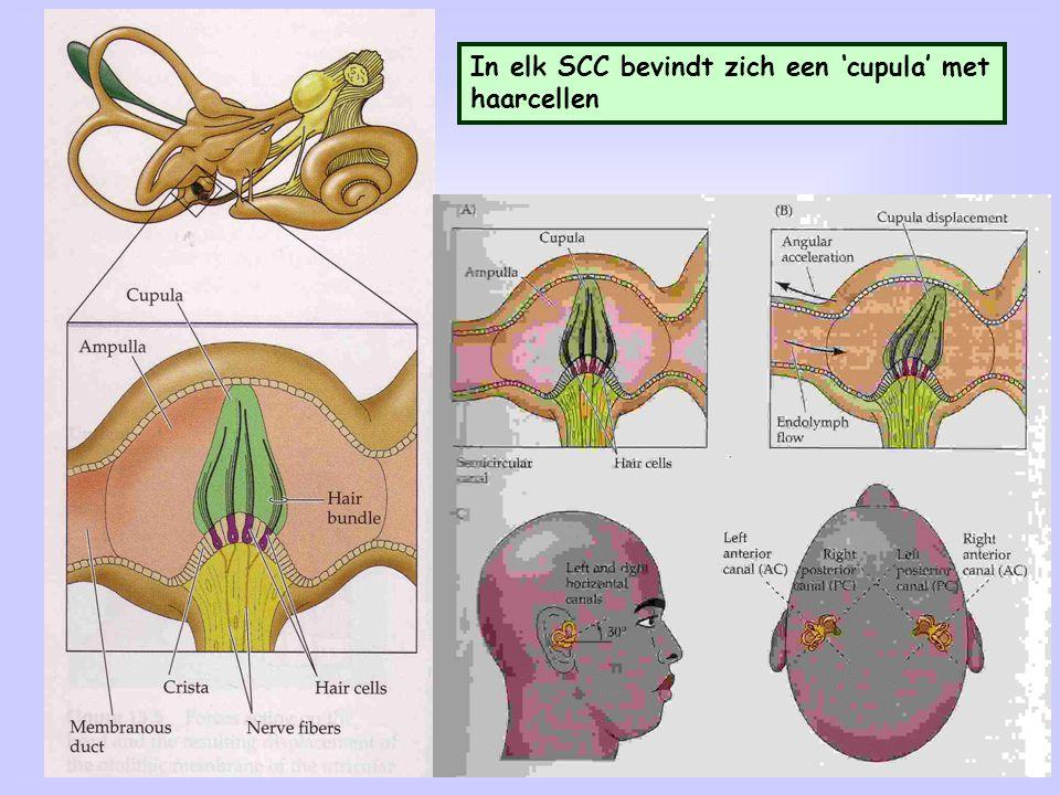 In elk SCC bevindt zich een 'cupula' met