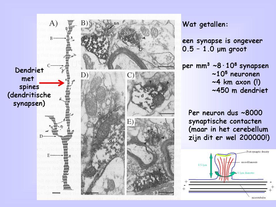 Wat getallen: een synapse is ongeveer. 0.5 – 1.0 μm groot. per mm3 ~8·108 synapsen. ~105 neuronen.