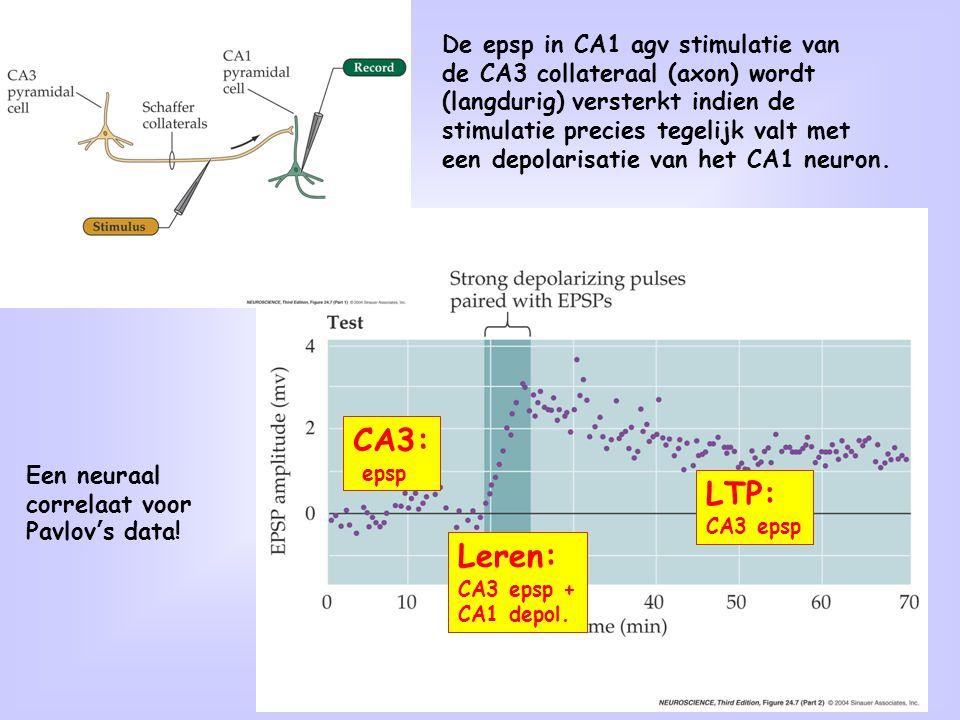 CA3: LTP: Leren: De epsp in CA1 agv stimulatie van