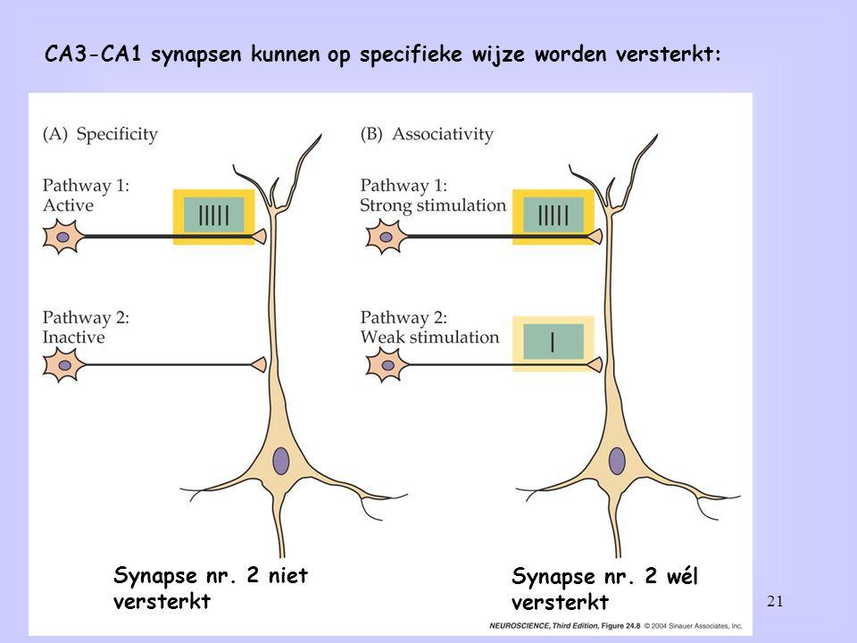 CA3-CA1 synapsen kunnen op specifieke wijze worden versterkt: