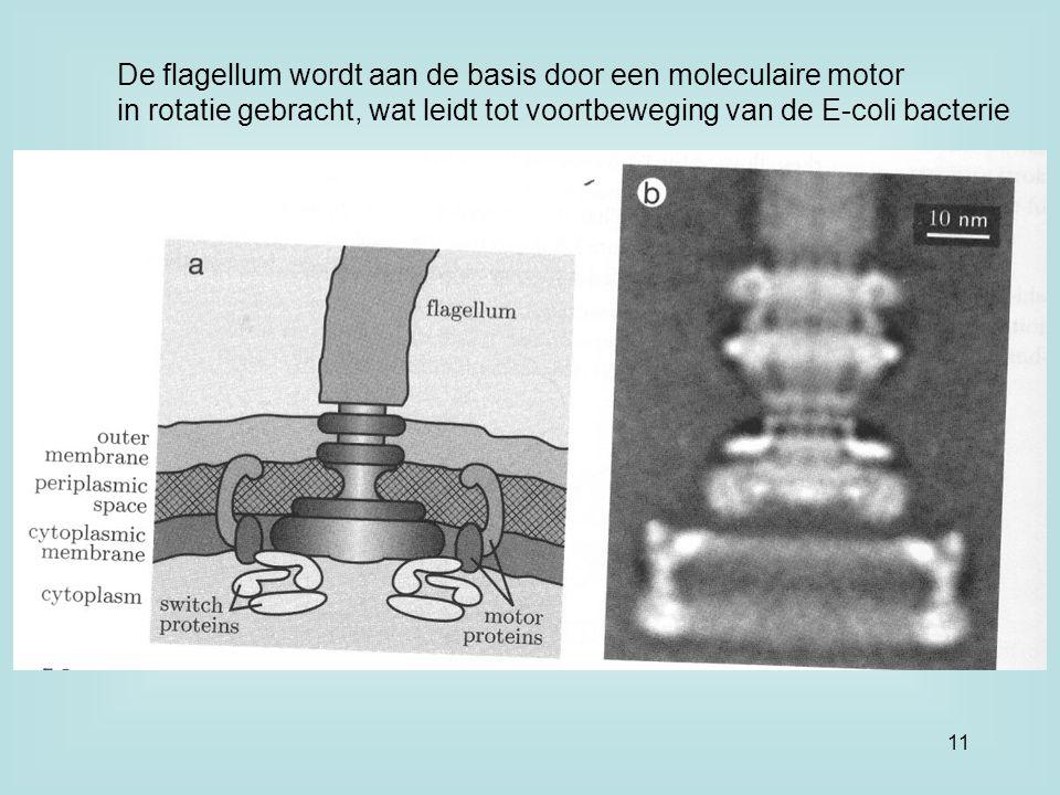 De flagellum wordt aan de basis door een moleculaire motor