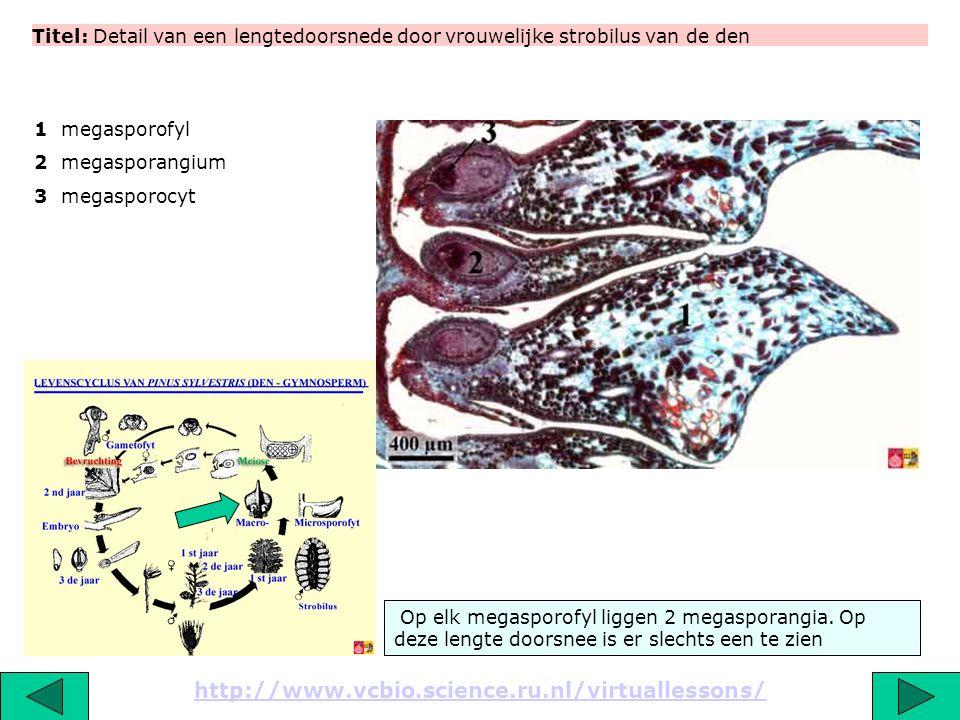 Titel: Detail van een lengtedoorsnede door vrouwelijke strobilus van de den