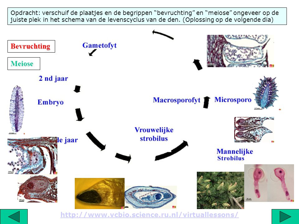 Bevruchting Meiose http://www.vcbio.science.ru.nl/virtuallessons/