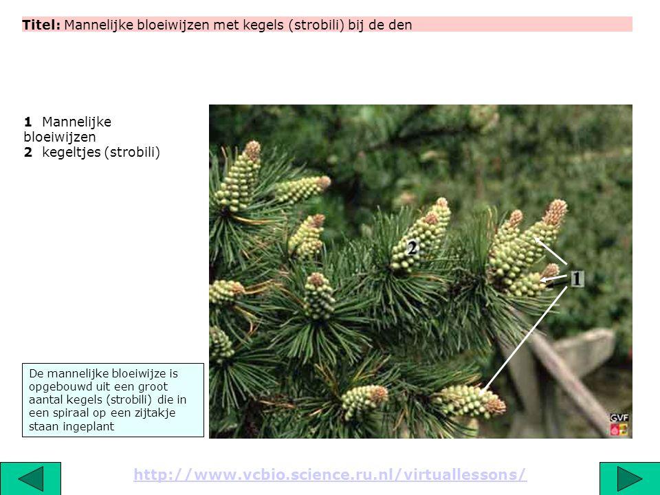 Titel: Mannelijke bloeiwijzen met kegels (strobili) bij de den