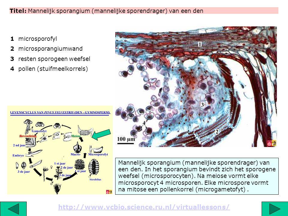 Titel: Mannelijk sporangium (mannelijke sporendrager) van een den