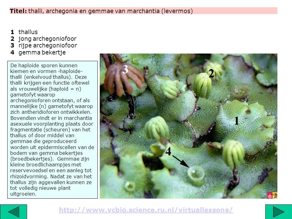 Titel: thalli, archegonia en gemmae van marchantia (levermos)
