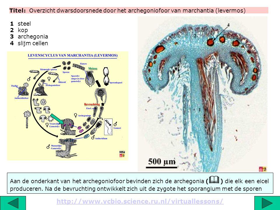 Titel: Overzicht dwarsdoorsnede door het archegoniofoor van marchantia (levermos)