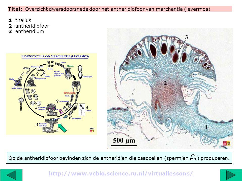Titel: Overzicht dwarsdoorsnede door het antheridiofoor van marchantia (levermos)