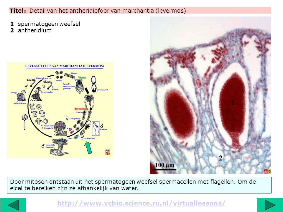 Titel: Detail van het antheridiofoor van marchantia (levermos)