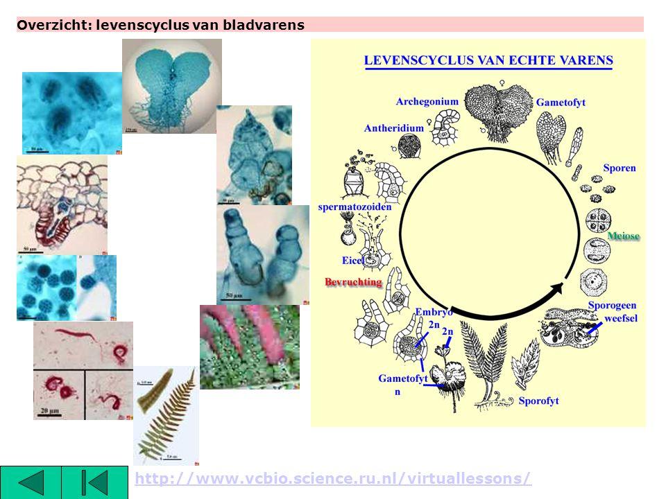 Overzicht: levenscyclus van bladvarens