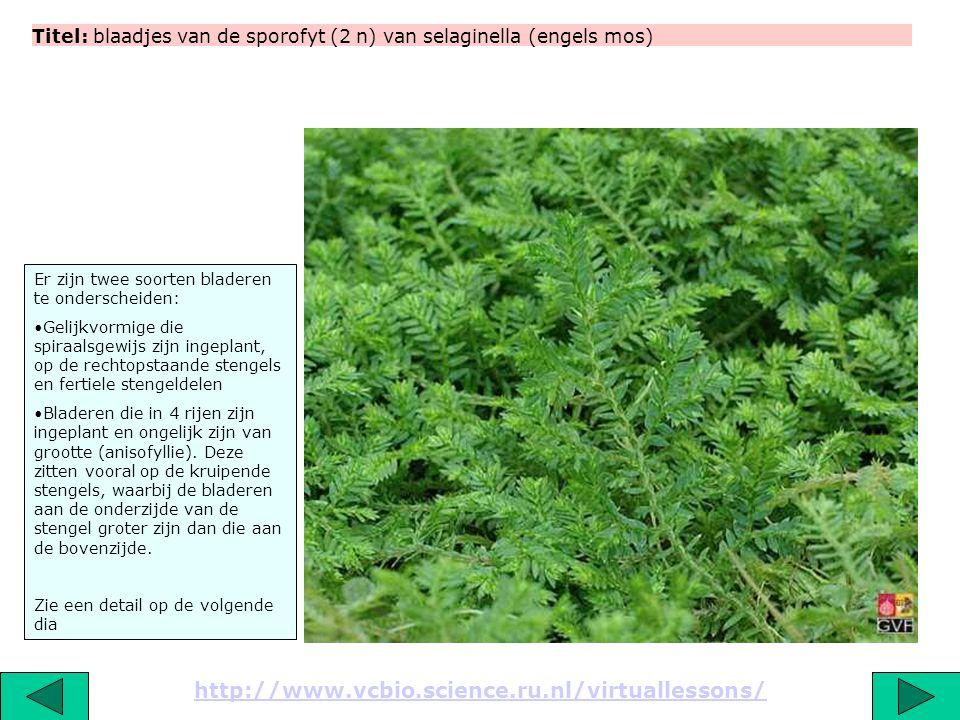Titel: blaadjes van de sporofyt (2 n) van selaginella (engels mos)