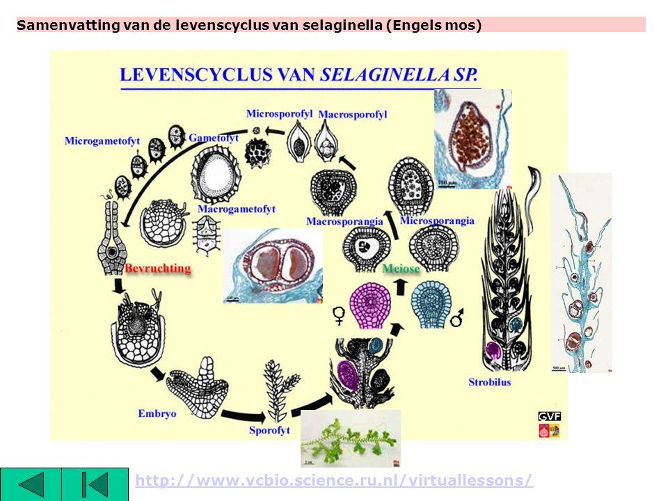 Samenvatting van de levenscyclus van selaginella (Engels mos)