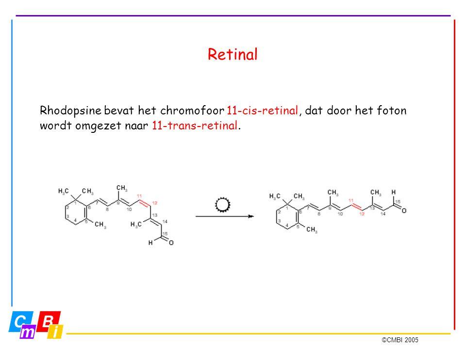Retinal Rhodopsine bevat het chromofoor 11-cis-retinal, dat door het foton wordt omgezet naar 11-trans-retinal.