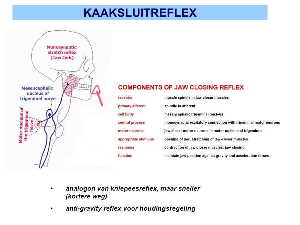 KAAKSLUITREFLEX analogon van kniepeesreflex, maar sneller (kortere weg) anti-gravity reflex voor houdingsregeling.