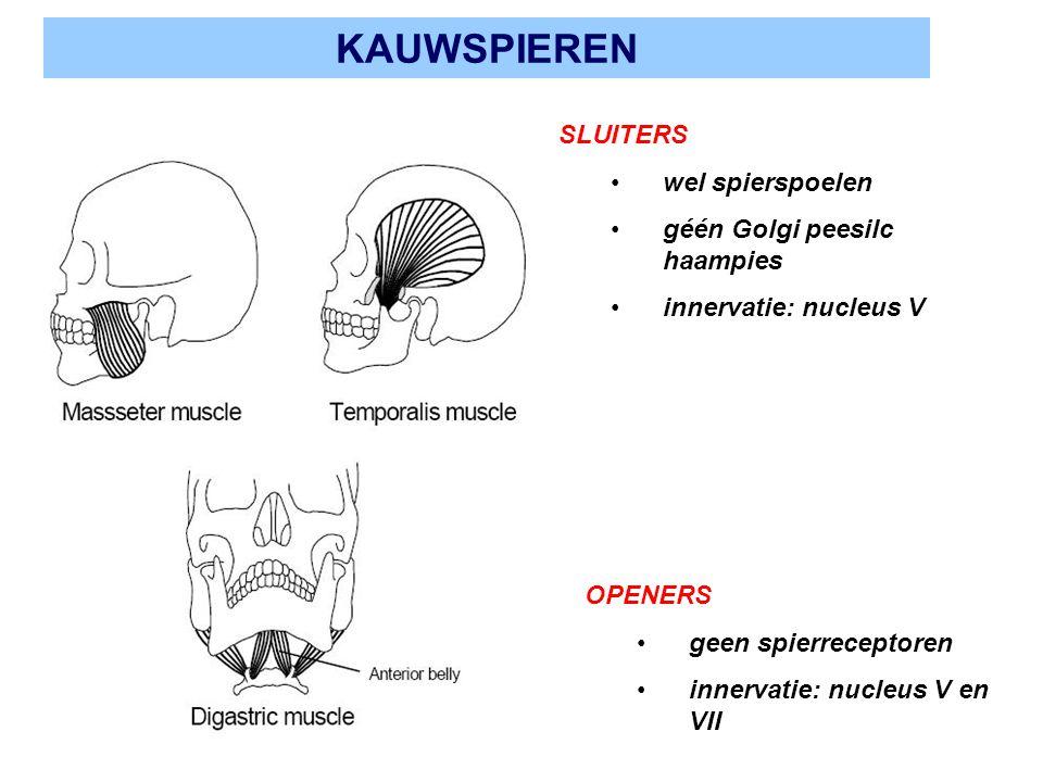 KAUWSPIEREN SLUITERS wel spierspoelen géén Golgi peesilc haampies