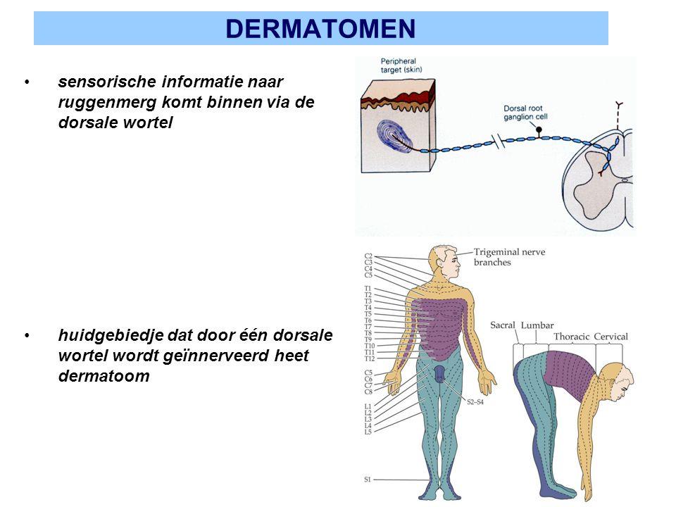 DERMATOMEN sensorische informatie naar ruggenmerg komt binnen via de dorsale wortel.