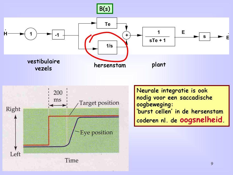 B(s) vestibulaire. vezels. hersenstam. plant. Neurale integratie is ook. nodig voor een saccadische.