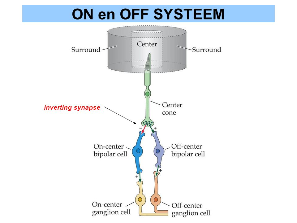 ON en OFF SYSTEEM inverting synapse