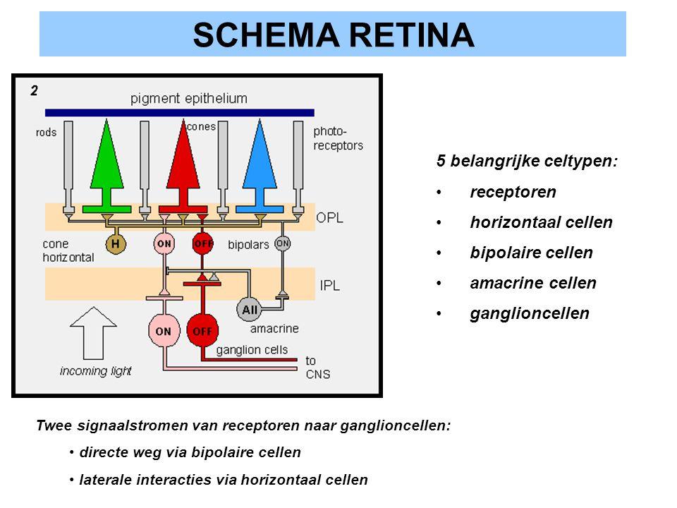 SCHEMA RETINA 5 belangrijke celtypen: receptoren horizontaal cellen