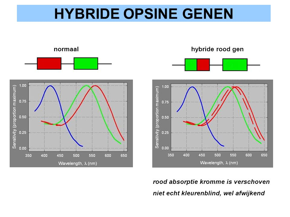 HYBRIDE OPSINE GENEN normaal hybride rood gen