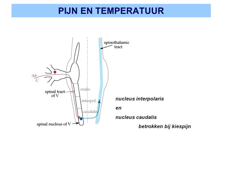 PIJN EN TEMPERATUUR nucleus interpolaris en nucleus caudalis