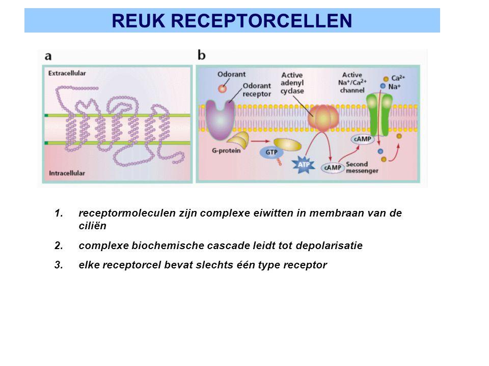 REUK RECEPTORCELLEN receptormoleculen zijn complexe eiwitten in membraan van de ciliën. complexe biochemische cascade leidt tot depolarisatie.
