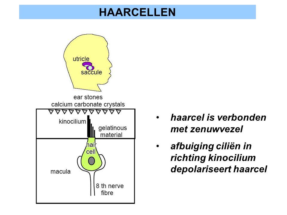HAARCELLEN haarcel is verbonden met zenuwvezel