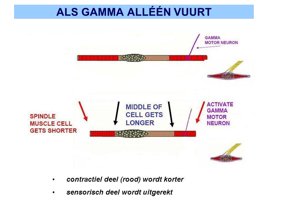 ALS GAMMA ALLÉÉN VUURT contractiel deel (rood) wordt korter