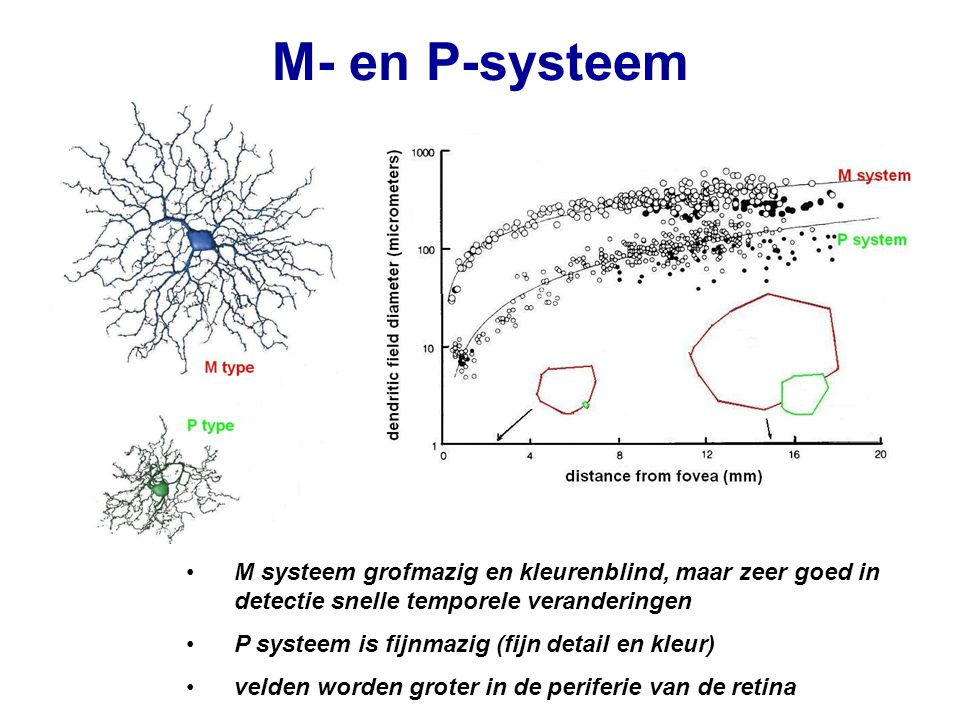M- en P-systeem M systeem grofmazig en kleurenblind, maar zeer goed in detectie snelle temporele veranderingen.