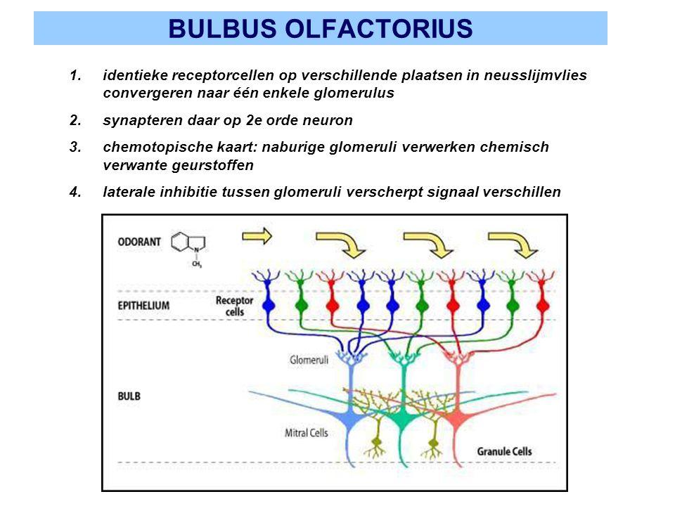 BULBUS OLFACTORIUS identieke receptorcellen op verschillende plaatsen in neusslijmvlies convergeren naar één enkele glomerulus.