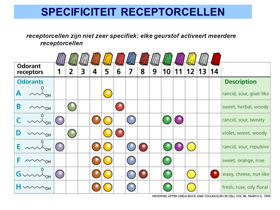 SPECIFICITEIT RECEPTORCELLEN