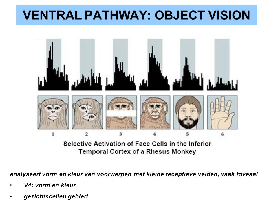 VENTRAL PATHWAY: OBJECT VISION