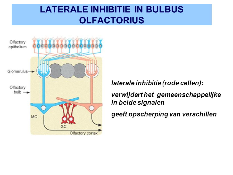 LATERALE INHIBITIE IN BULBUS OLFACTORIUS