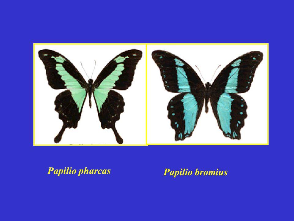 Papilio pharcas Papilio bromius