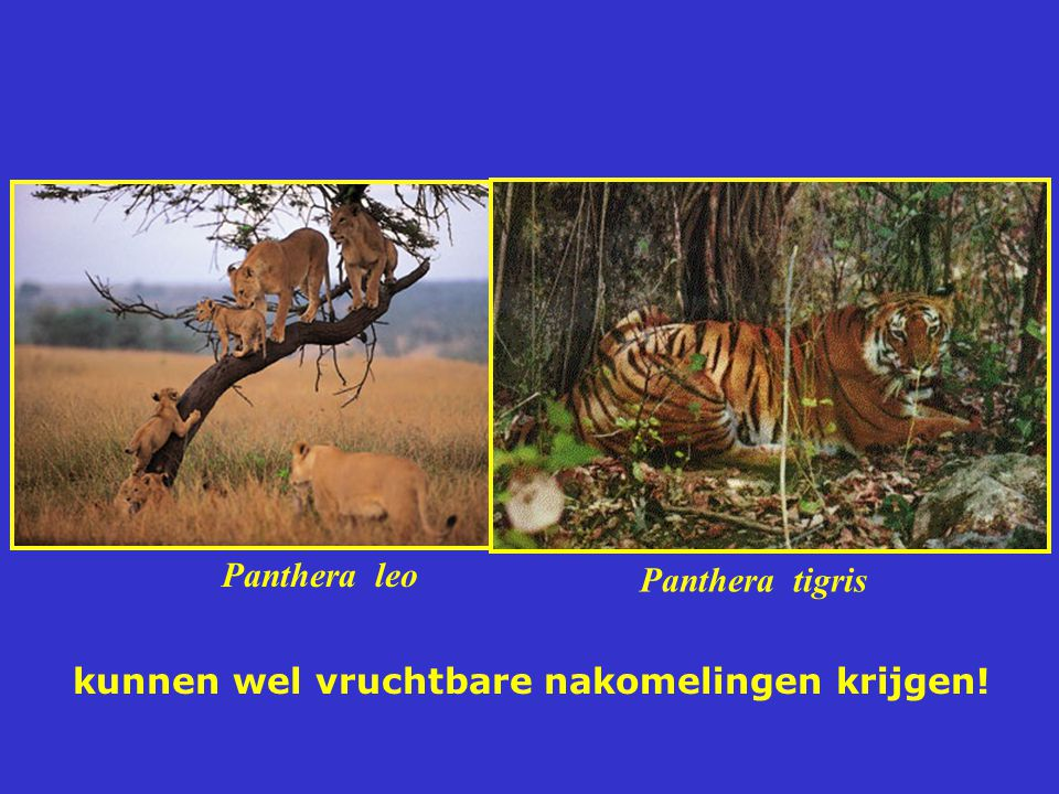 Panthera leo Panthera tigris kunnen wel vruchtbare nakomelingen krijgen!
