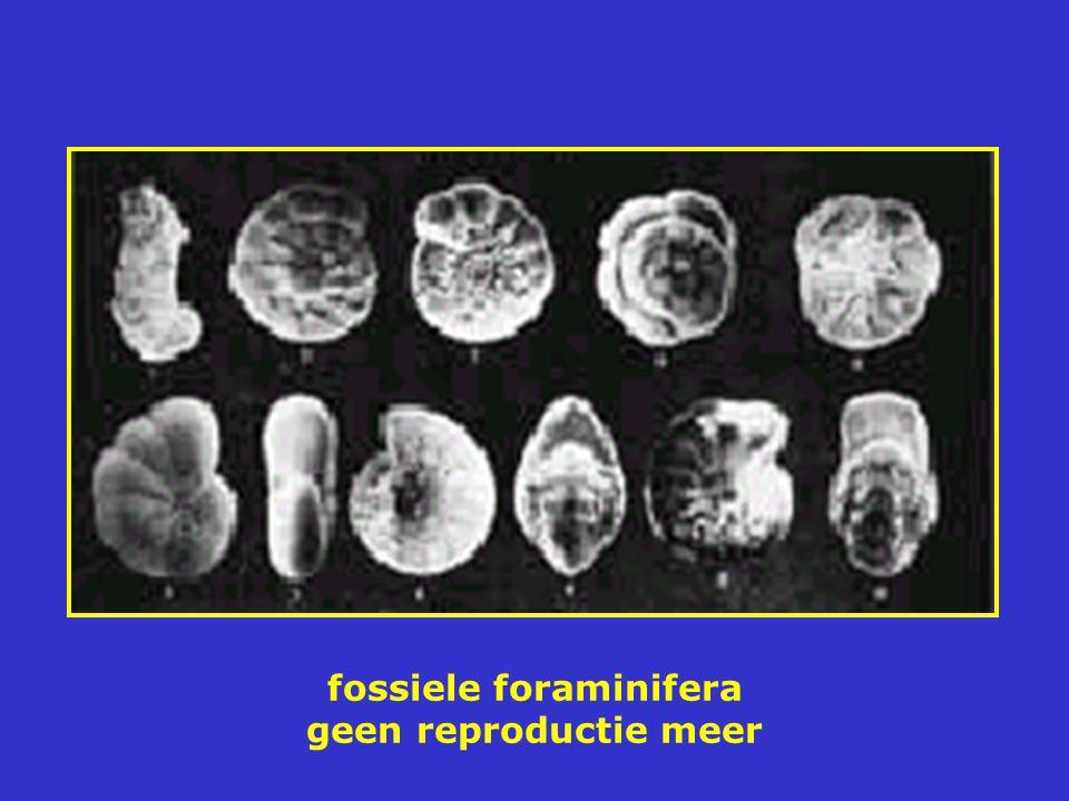 fossiele foraminifera