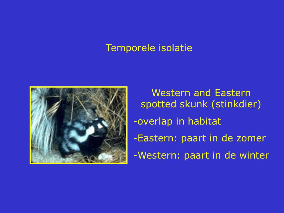 Western and Eastern spotted skunk (stinkdier)