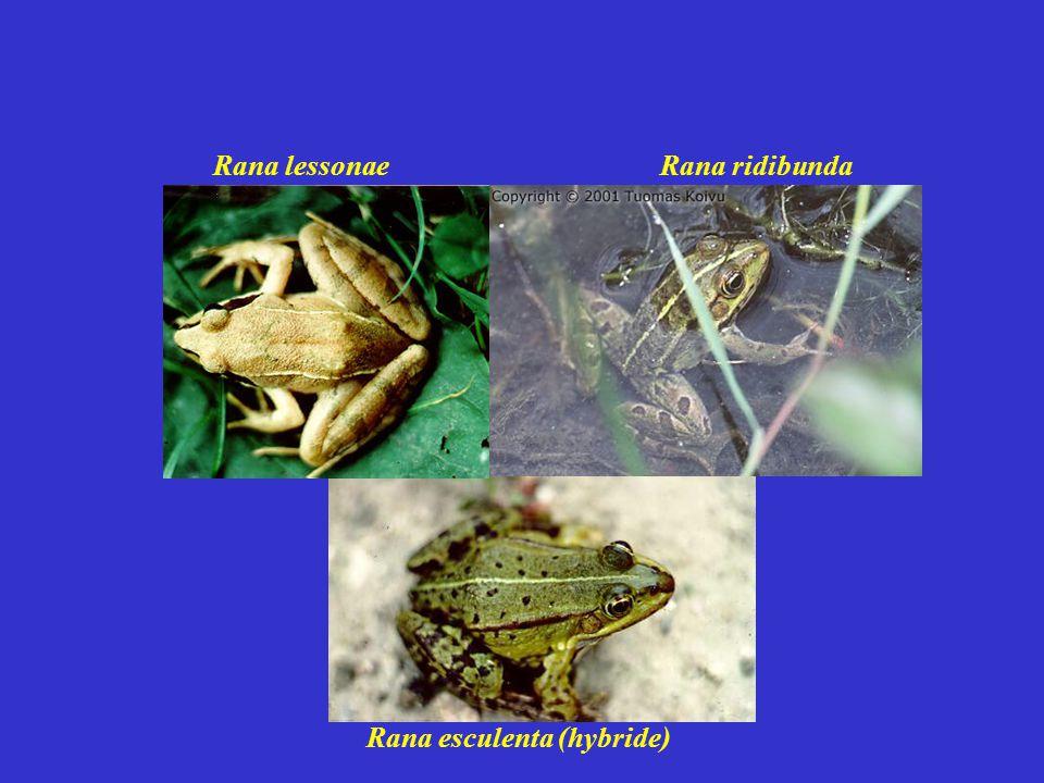 Rana lessonae Rana ridibunda Rana esculenta (hybride)