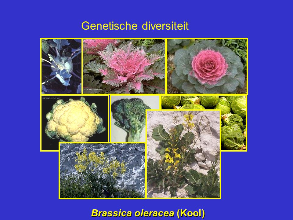 Brassica oleracea (Kool)